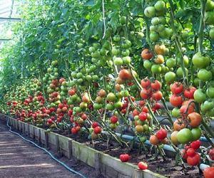 kak-vyrashhivat-pravilno-teplichnye-pomidory