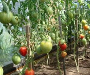 kakim-dolzhen-byt-grunt-v-teplice-pod-vyrashhivanie-pomidor