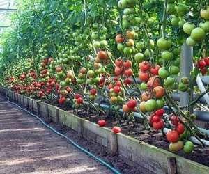 teplicy-dlya-vyrashhivaniya-pomidorov-ogurcov-i-salata-poyavlyayutsya-v-raznyx-ugolkax-rf