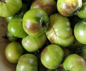 fitoftoroz-na-pomidorax