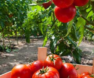 i-v-dozhdlivuyu-pogodu-mozhno-sobirat-vysokij-urozhaj-pomidorov