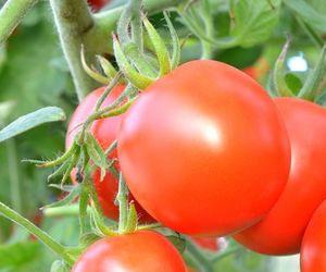 kak-poluchit-bolshoj-urozhaj-pomidor