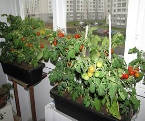 kak-vyrastit-pomidory-na-podokonnike-zimoj