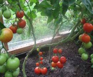 kak-poluchit-rannij-i-bolshoj-urozhaj-tomatov