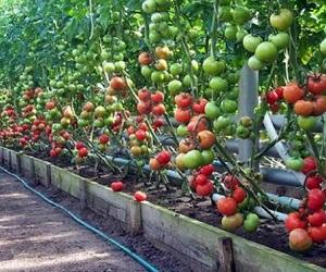 kak_osushhestvlyat_uxod_za_vysokoroslymi_pomidorami