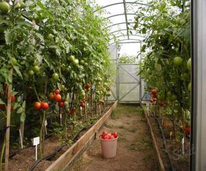 sobiraem_semena_pomidorov