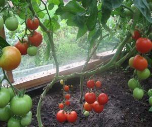 kak_vyrastit_tomaty_bez_poliva