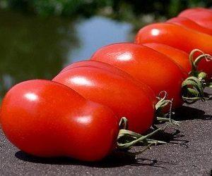 tomat_sorta_petrusha-ogorodnik