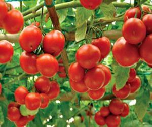 tomat_sorta_yablonka_rossii
