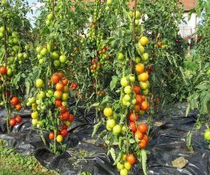 obrabotka_pomidor_i_ogurcov_trix